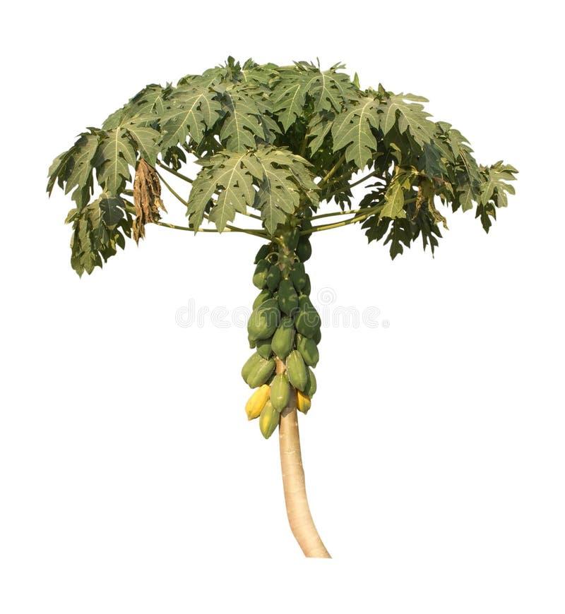 Albero di papaia isolato su fondo bianco Percorso di ritaglio fotografie stock libere da diritti