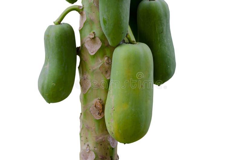 Albero di papaia sul percorso di ritaglio bianco del fondo fotografie stock libere da diritti
