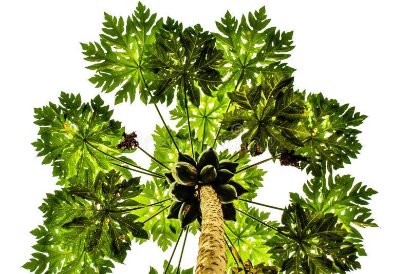 Albero di papaia verde con frutta su fondo bianco fotografie stock