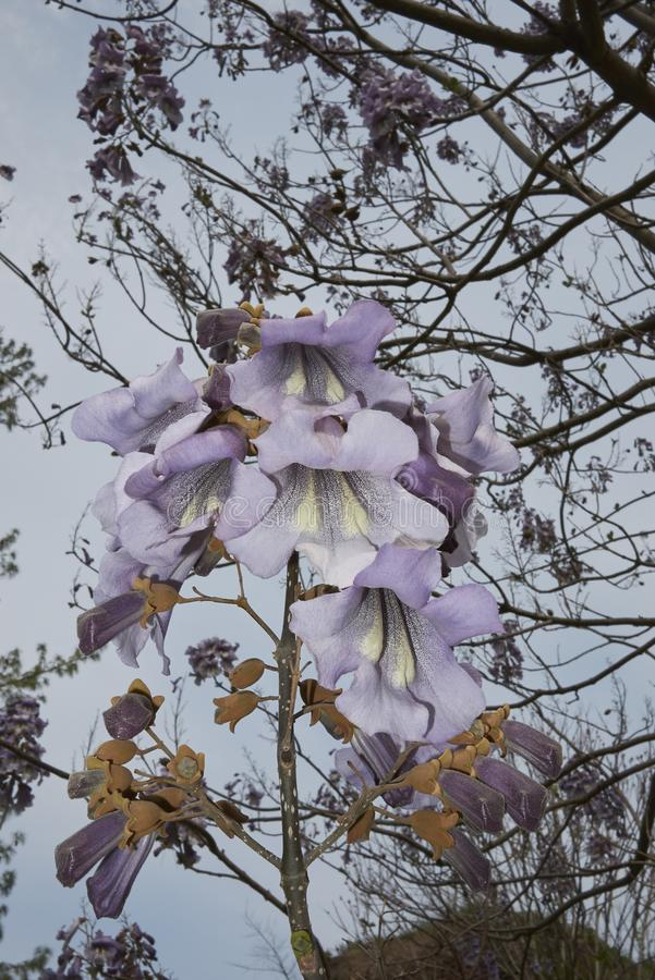 Albero di paulownia tomentosa in fioritura fotografie stock libere da diritti