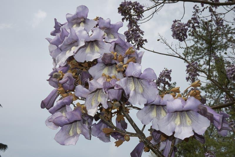 Albero di paulownia tomentosa in fioritura fotografia stock