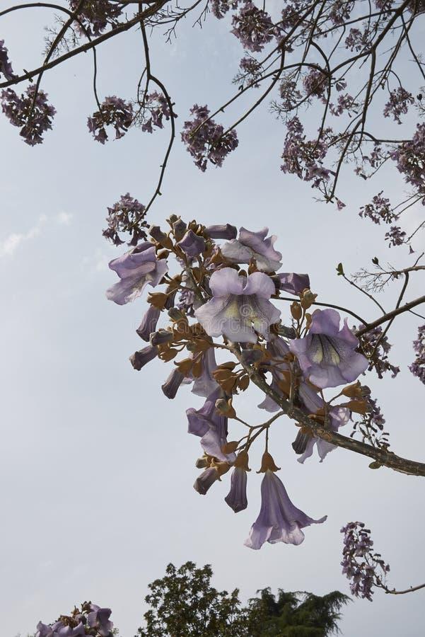 Albero di paulownia tomentosa in fioritura fotografie stock