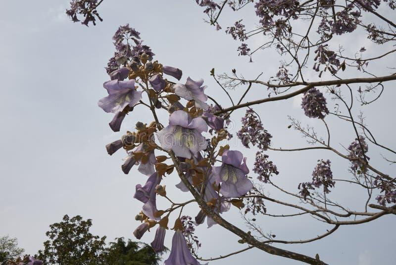 Albero di paulownia tomentosa in fioritura fotografia stock libera da diritti