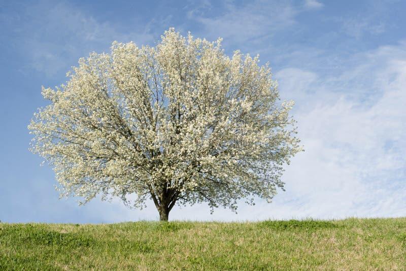 Albero di pera di Bradford in piena fioritura immagine stock libera da diritti