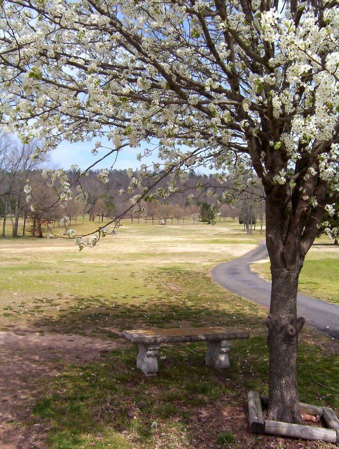 Albero di pera di fioritura in primavera fotografia stock libera da diritti