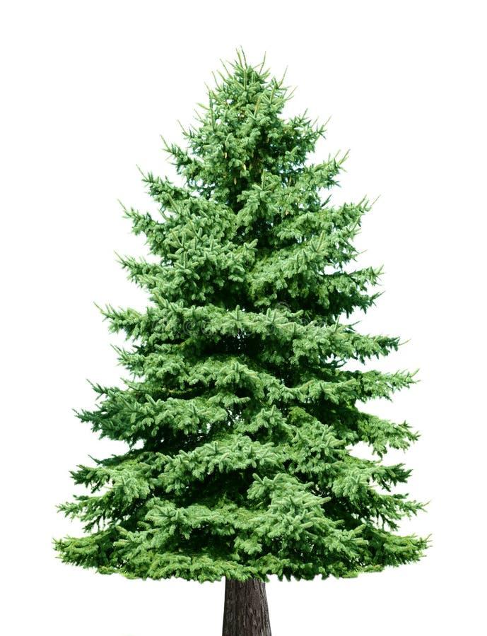 albero di pino immagine stock immagine di fogliame pine tree vector art pine tree vector art
