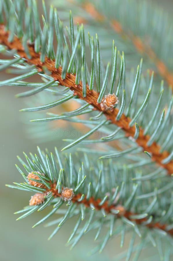 Albero di pino blu di Srpuce immagine stock libera da diritti