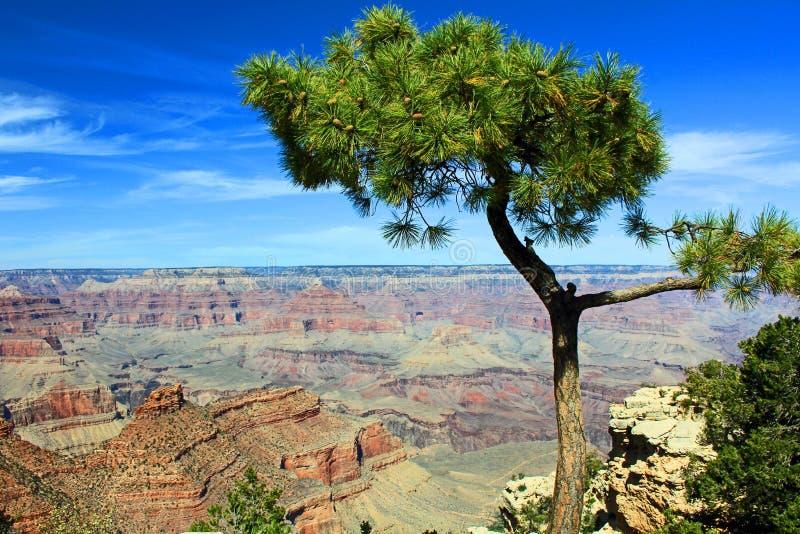 Albero di pino con il grande canyon nei precedenti fotografia stock