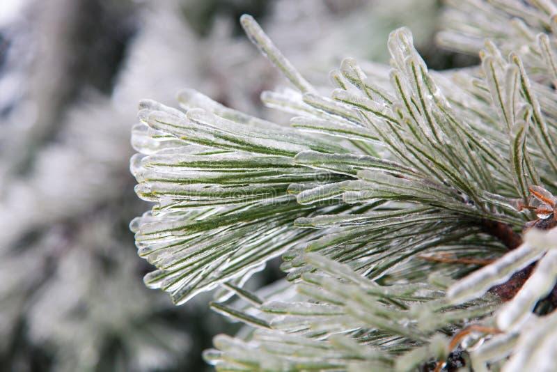 Albero di pino congelato fotografia stock libera da diritti