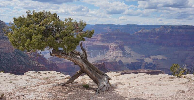 Albero di pino del grande canyon fotografia stock