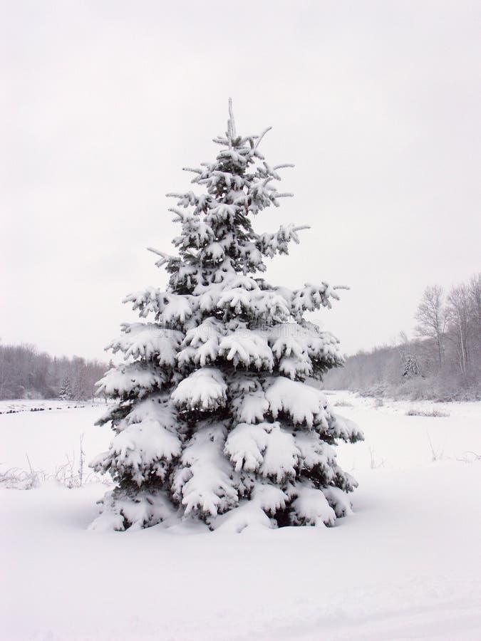 Albero di pino dello Snowy fotografia stock