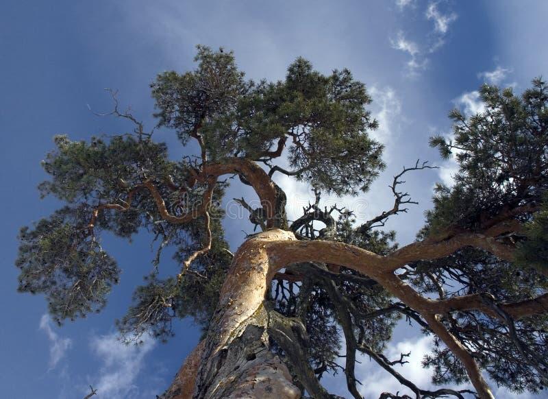 Albero di pino Gnarled fotografia stock libera da diritti