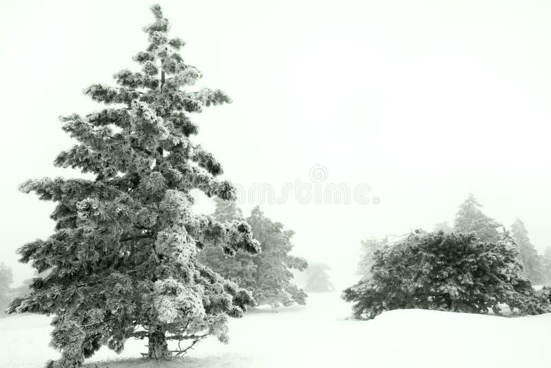 Albero di pino in inverno fotografia stock