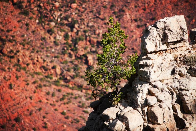 Albero di pino nel grande canyon fotografia stock
