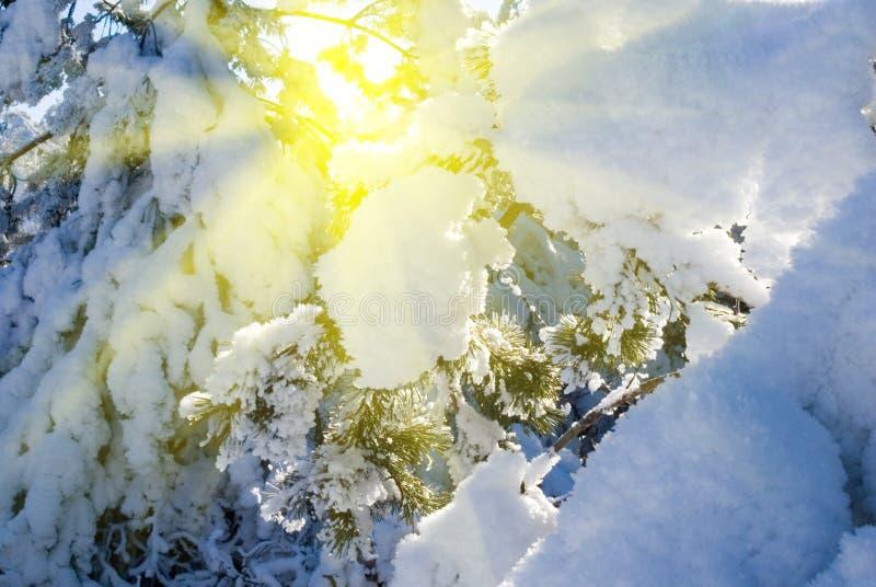 Albero di pino in raggi del sole immagine stock libera da diritti