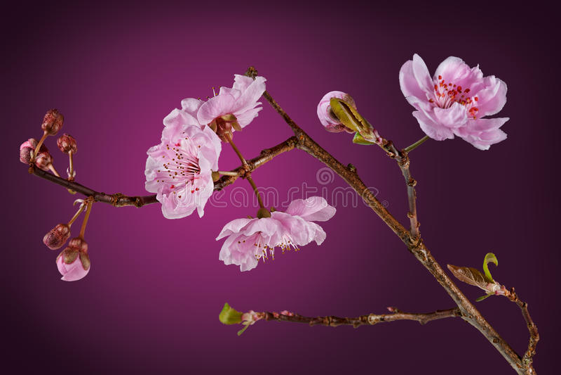 Albero di prugna di fioritura fotografia stock