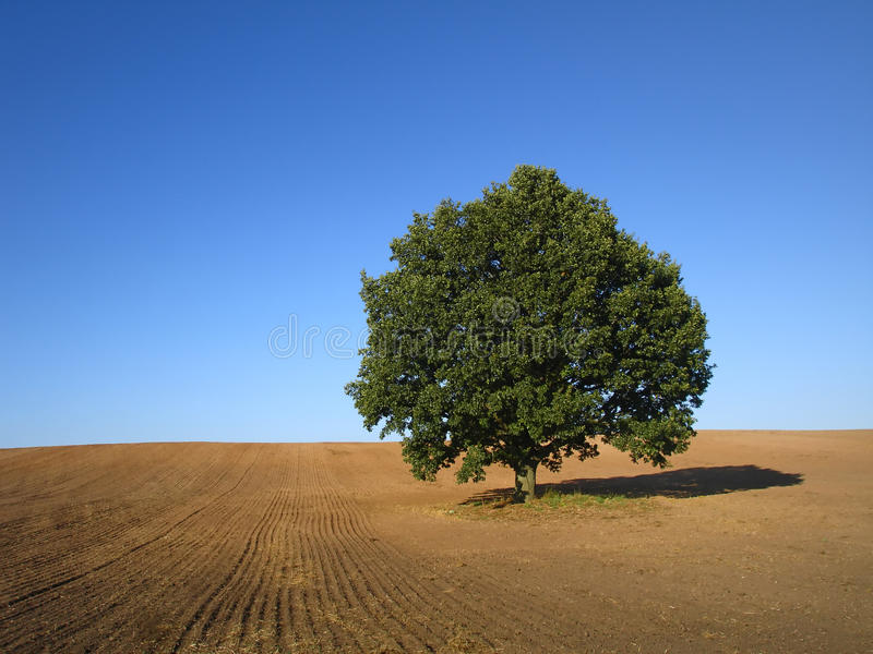 albero di quercia fotografie stock libere da diritti
