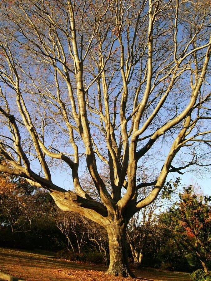 Albero di quercia di autunno immagine stock libera da diritti