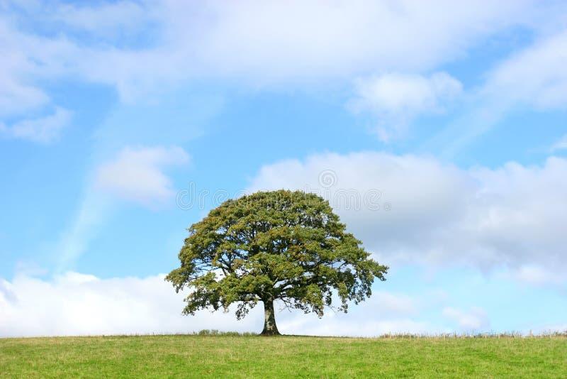 Albero di quercia di estate fotografie stock