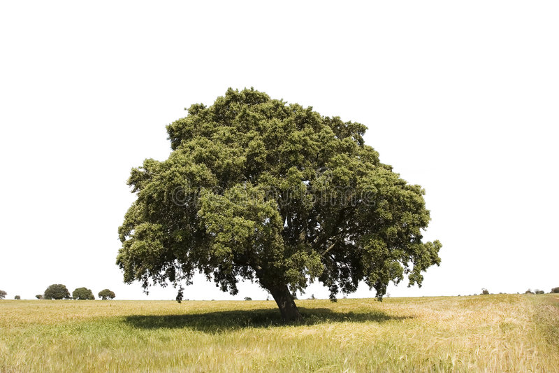 Albero di quercia isolato immagine stock