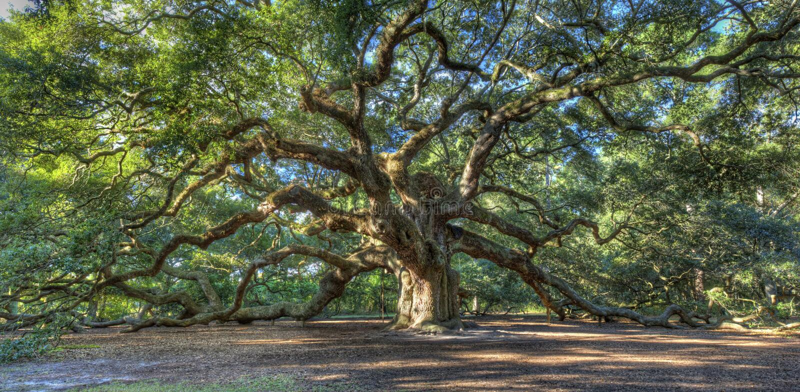 Albero di quercia magico di angelo, Sc di Charleston immagine stock