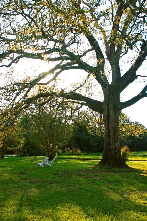 Albero di quercia nella sorgente fotografia stock