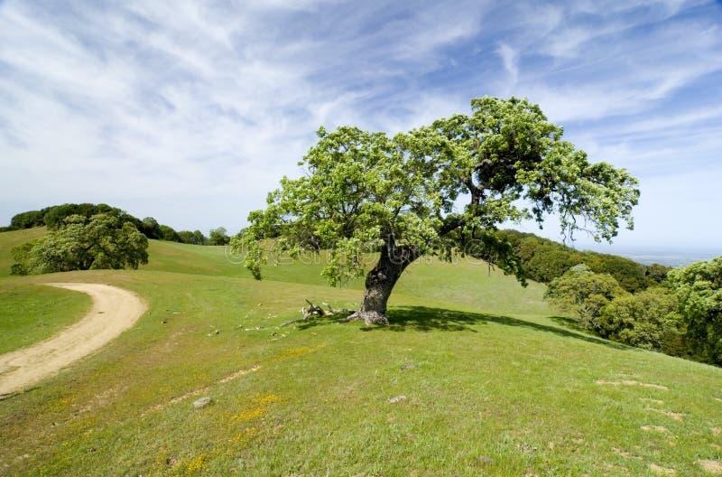 Albero di quercia in prato fotografia stock libera da diritti