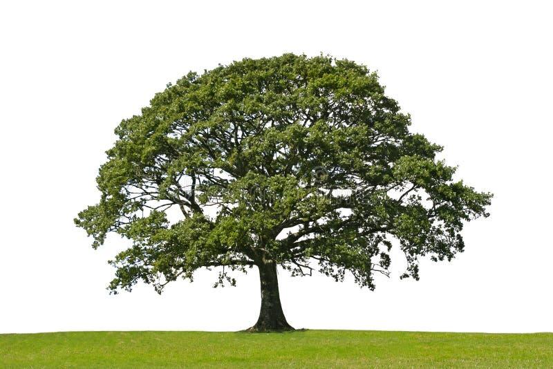 Albero di quercia, simbolo di resistenza immagine stock libera da diritti