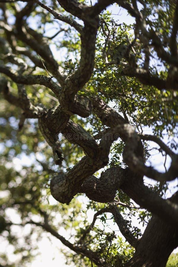 Albero di quercia in tensione. fotografie stock