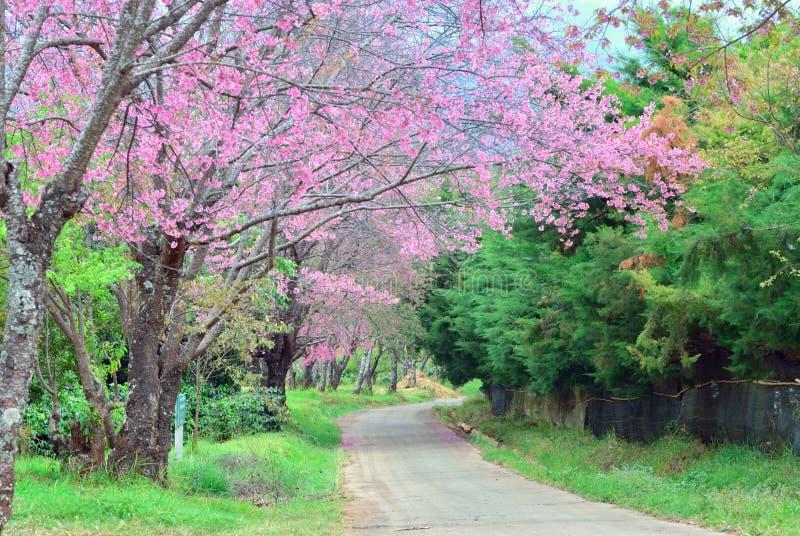 albero di sakura kunwang fotografia stock immagine di