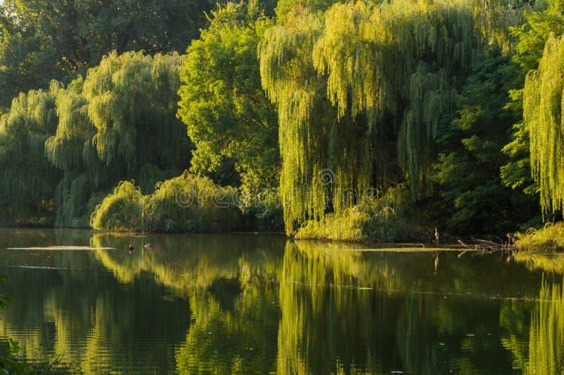 Albero di salice sulle banche del fiume immagini stock libere da diritti