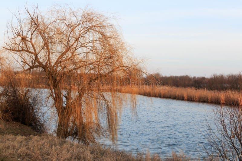 Albero di salice vicino al fiume fotografie stock libere da diritti