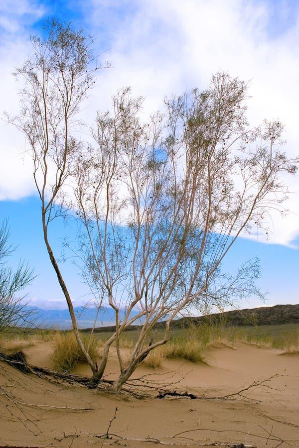Albero di Saxaul in deserto, mattina della molla, il Kazakistan fotografia stock libera da diritti