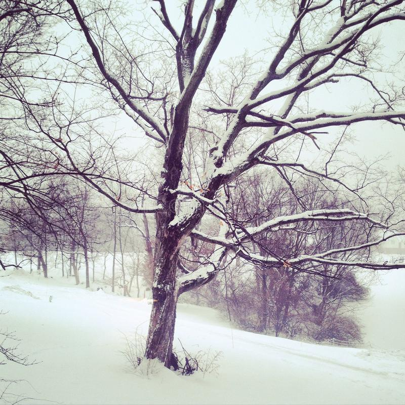 Albero di Snowy nell'inverno fotografia stock libera da diritti