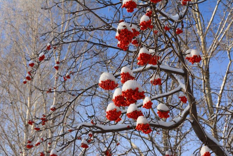 Albero di sorba con i mazzi di bacche rosse sotto neve Scena di inverno immagini stock