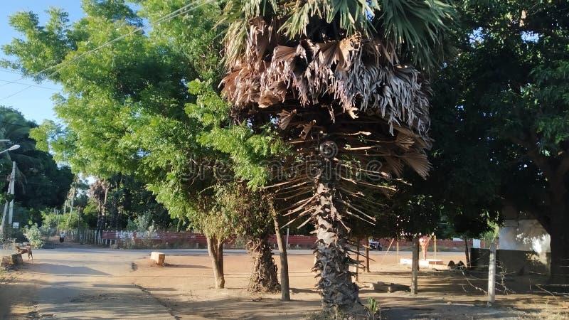 Albero di Thal con il kohomba a kilinochchi Sri Lanka immagine stock libera da diritti