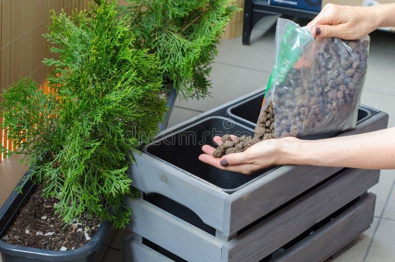 Albero di trapianto del thuja del giardiniere della donna in un nuovo vaso di legno sulla t immagine stock libera da diritti