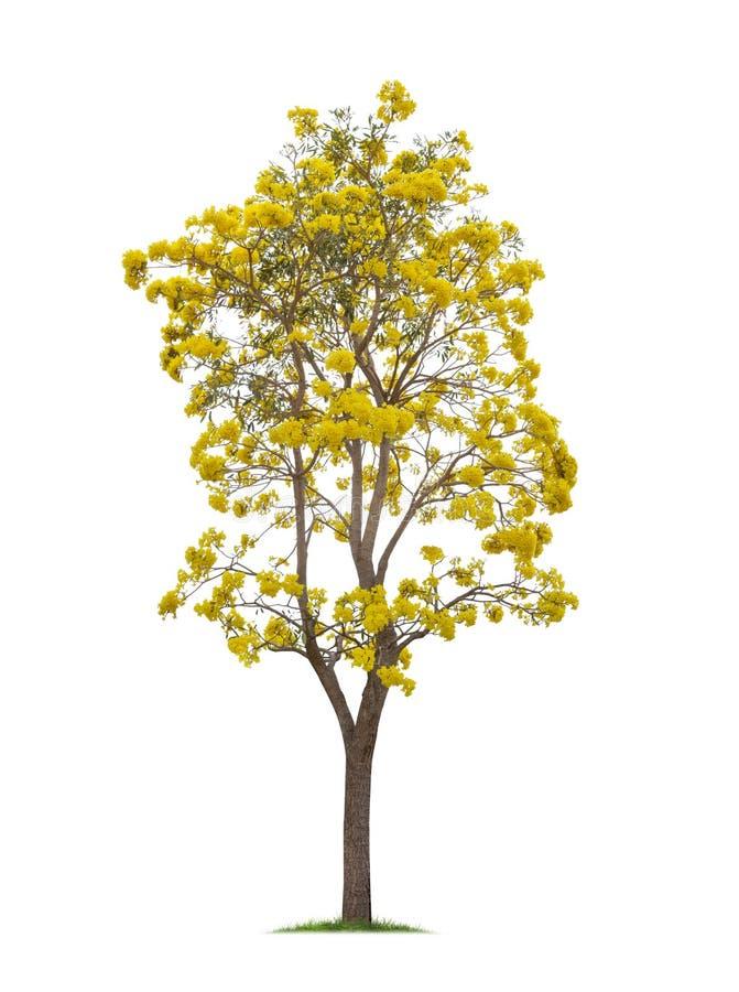 Albero di tromba d'argento isolato o giallo Tabebuia su fondo bianco immagini stock