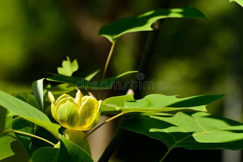 Albero di tulipano cinese di fioritura fotografia stock libera da diritti