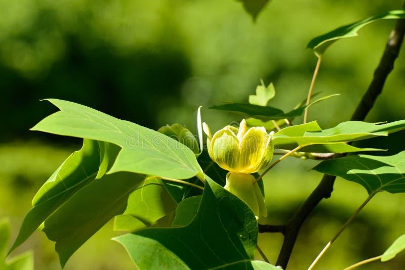 Albero di tulipano cinese di fioritura fotografia stock