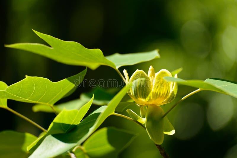 Albero di tulipano cinese di fioritura immagini stock