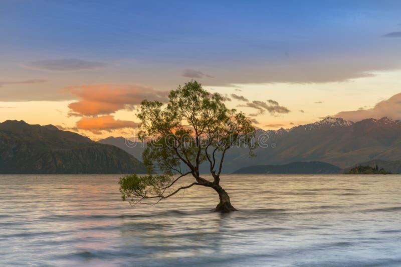 Albero di Wanaka sopra il lago durante l'alba, isola del sud Wanaka della Nuova Zelanda fotografie stock libere da diritti