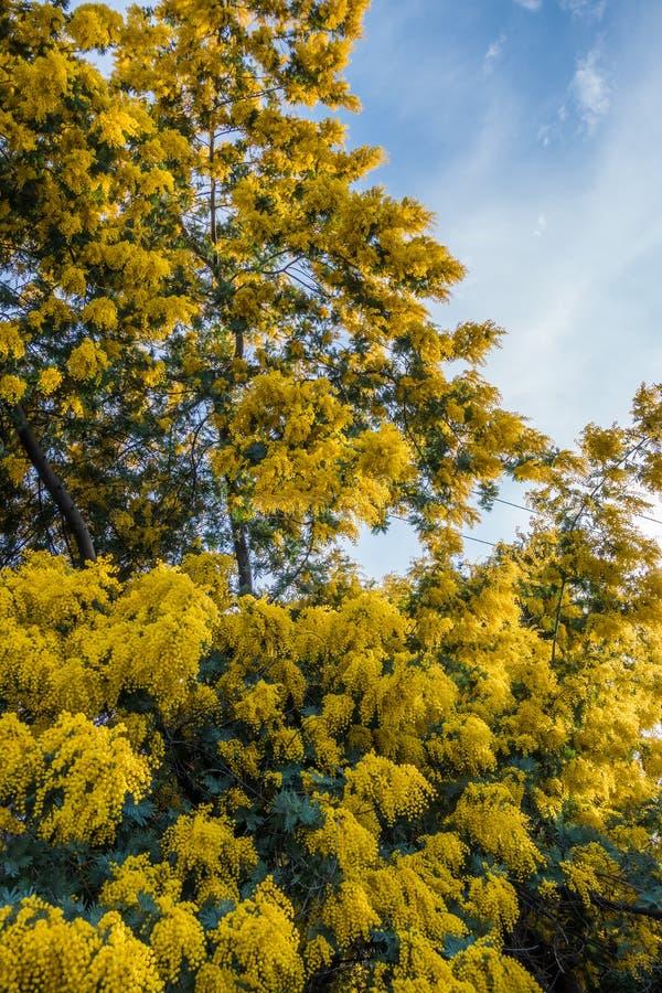 Albero dorato della mimosa immagine stock
