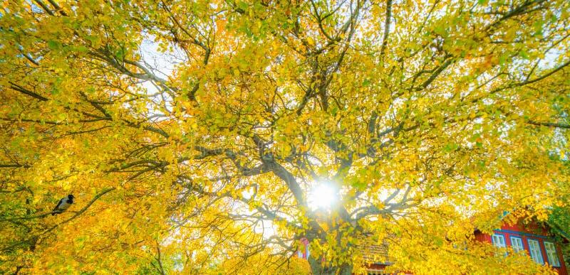 Albero dorato di autunno immagine stock