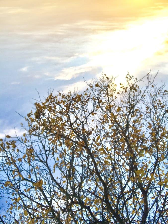 Albero dorato e chiaro orizzonte fotografia stock