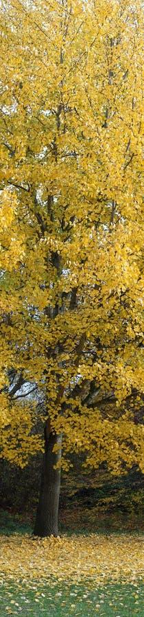 Albero dorato nel panorama di autunno fotografie stock libere da diritti
