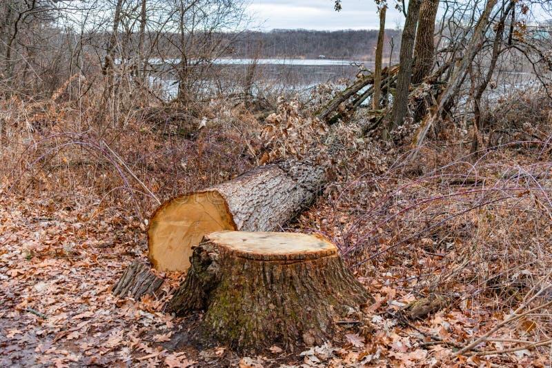 Albero e ceppo abbattuti in una foresta vicino ad uno stagno immagine stock