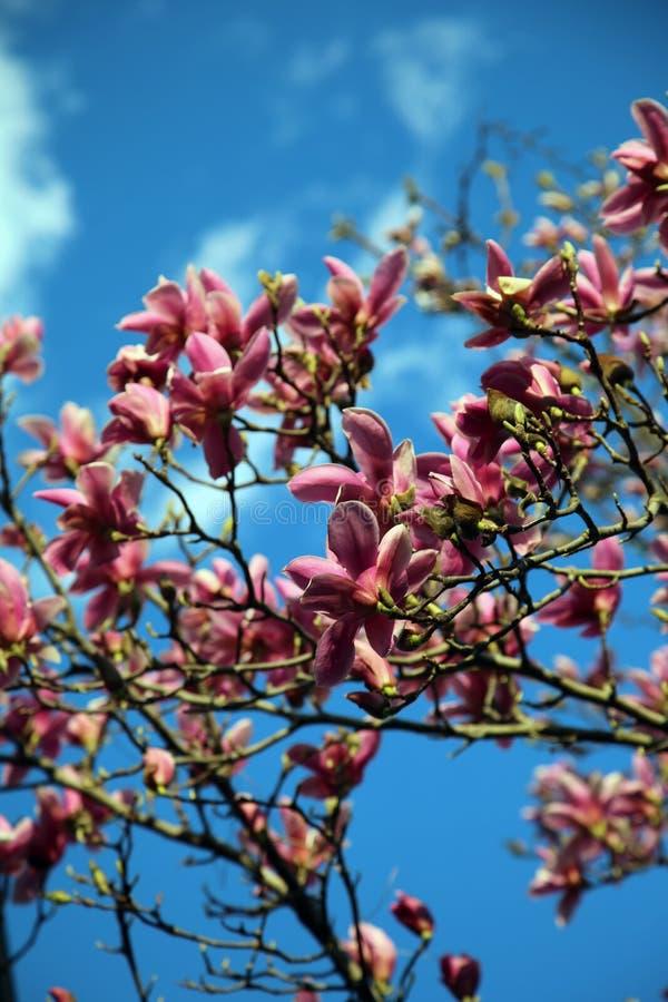 Albero e cielo blu della magnolia fotografia stock