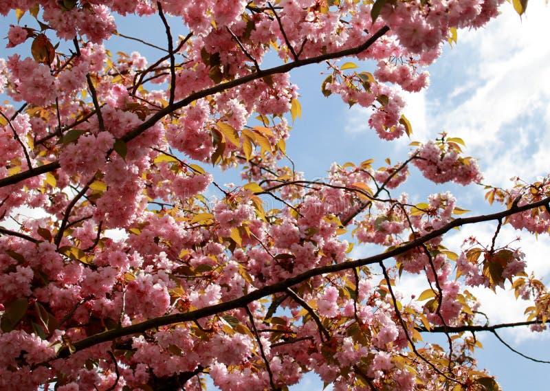 Albero e cielo blu di Rosa fotografie stock