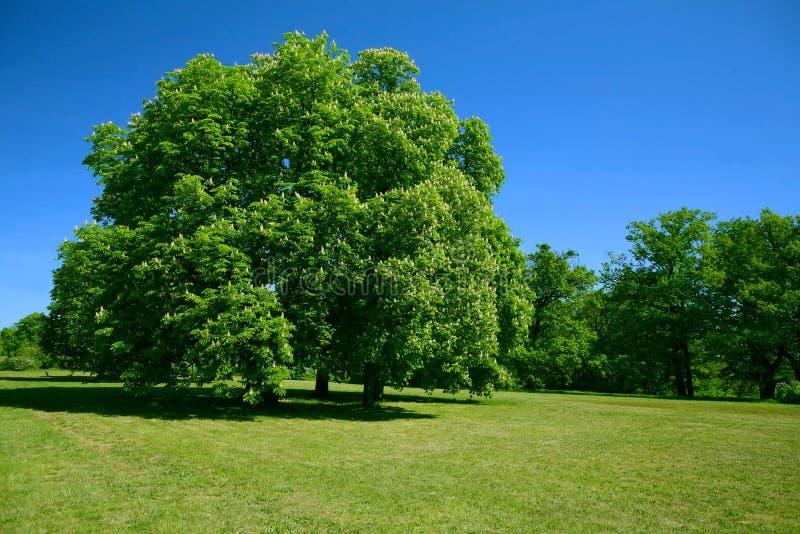 Albero e cielo blu verdi fotografia stock libera da diritti